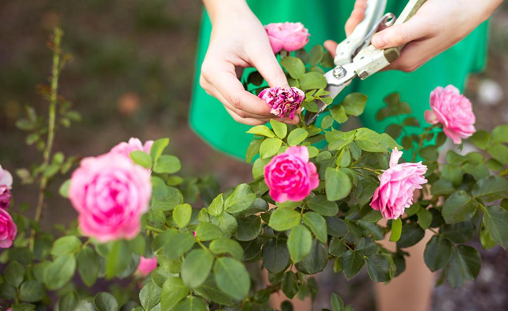 Un jardin fertile et sain gamm vert - Quand faut il couper les fleurs fanees des hortensias ...