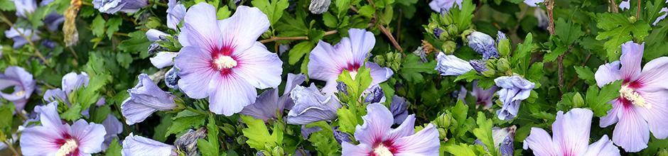 Tailler les arbustes de floraison estivale : buddleias ...