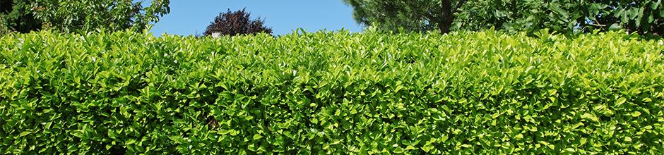Choisir sa haie de jardin   Gamm vert