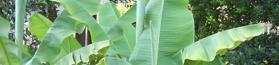 Planter un bananier le magazine gamm vert for Conseil jardinage