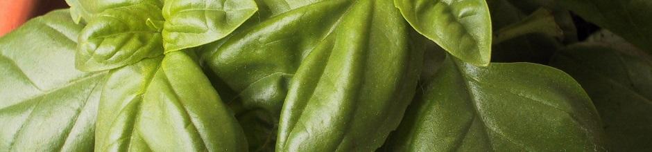 Semer le basilic le magazine gamm vert for Conseil jardinage