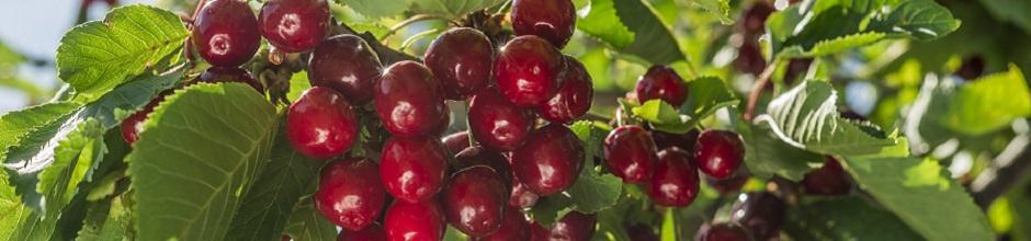 Maladies du cerisier gamm vert - Maladie du cerisier ...
