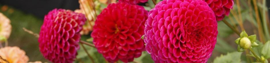 planter et cultiver les bulbes d 39 t dahlia canna gla eul lis agapanthe le magazine. Black Bedroom Furniture Sets. Home Design Ideas