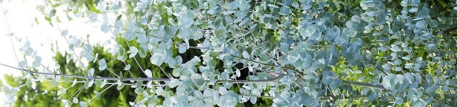 comment planter eucalyptus