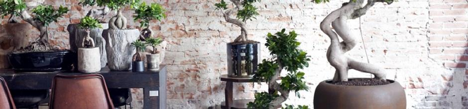 ficus arrosage rempotage gamm vert. Black Bedroom Furniture Sets. Home Design Ideas