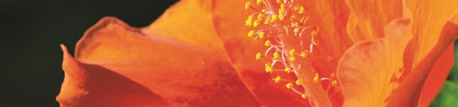 fabulous hibiscus duextrieur with hibiscus de jardin persistant. Black Bedroom Furniture Sets. Home Design Ideas