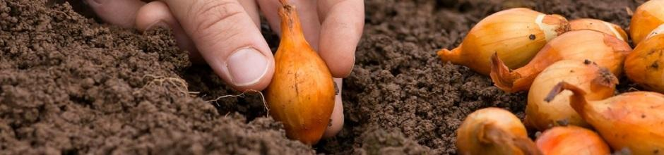 Planter Les Oignons Gamm Vert