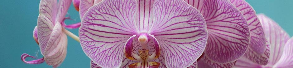 Une orchidée de jardin : la Bletilla | Gamm vert