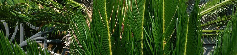 Maladies du palmier gamm vert for Maladie palmier interieur
