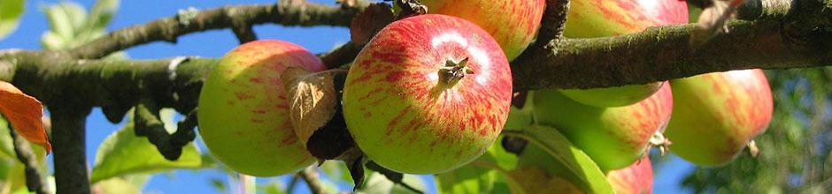 Taille des arbres fruitiers pommier poirier cerisier le magazine gamm vert - Comment tailler un pommier ...