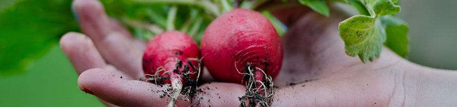 Semer les radis gamm vert - Comment semer des radis ...