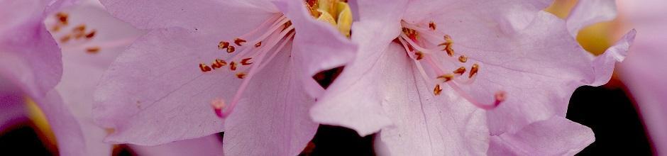 Mon rhododendron ne fleurit pas gamm vert - Rhododendron ne fleurit pas ...