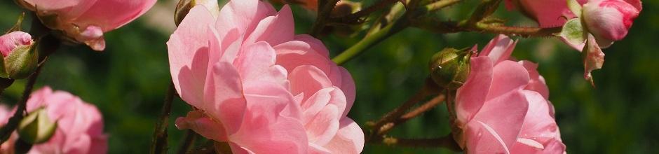 cultivez un rosier en pot sur un balcon gamm vert. Black Bedroom Furniture Sets. Home Design Ideas