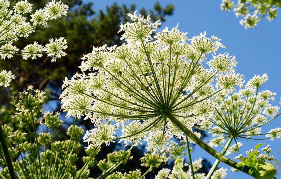Ang lique plante d 39 ext rieur gamm vert for Plante angelique