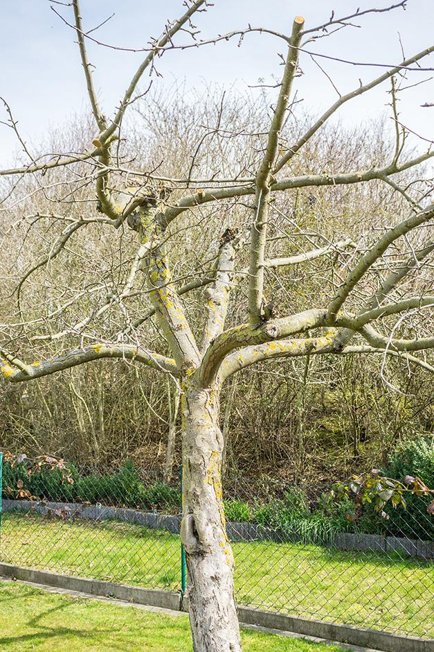 taille des arbres fruitiers pommier poirier cerisier gamm vert. Black Bedroom Furniture Sets. Home Design Ideas