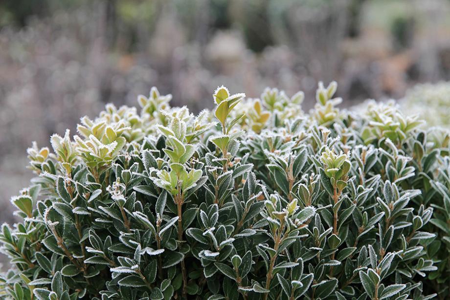 14 plantes qui ne craignent pas le gel gamm vert. Black Bedroom Furniture Sets. Home Design Ideas