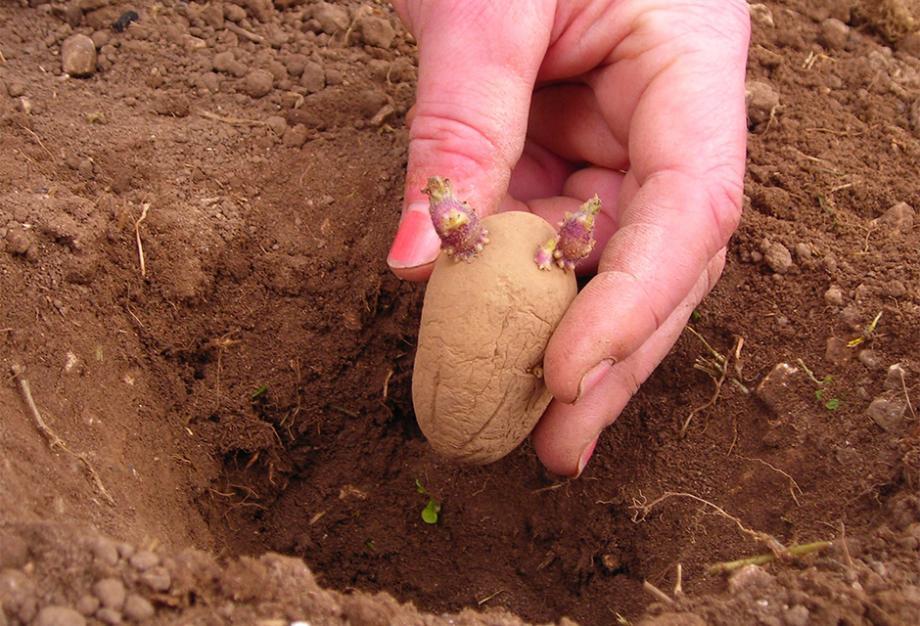 Calendrier Pour Planter.Planter Les Pommes De Terre Gamm Vert