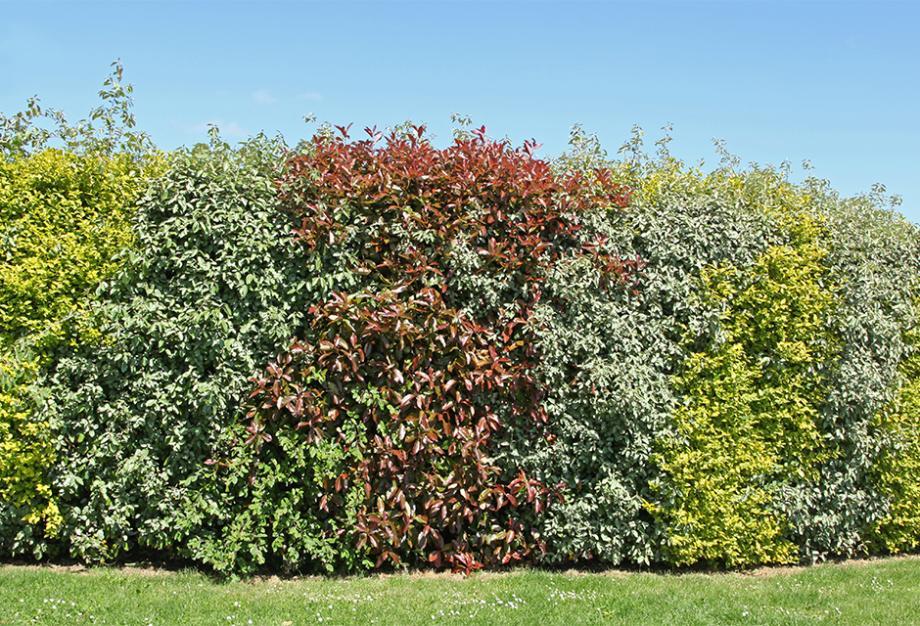 espace entre arbuste haie