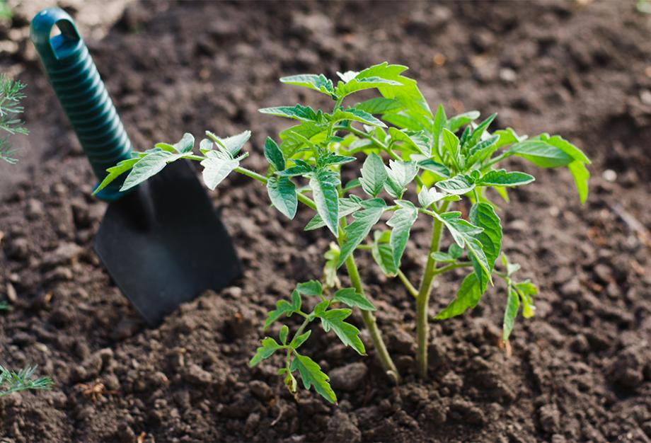 Planter Les Tomates Gamm Vert