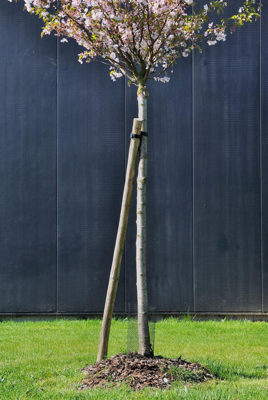 Comment Planter Un Arbre Fruitier tuteurer un jeune arbre | gamm vert