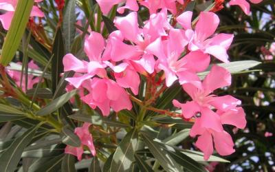 Laurier rose entretien origine culture gamm vert - Ou planter un laurier rose ...