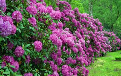 Tailler le rhododendron