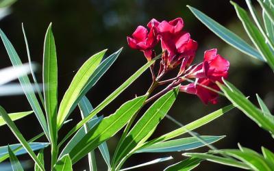 Trucs et astuces gamm vert - Laurier rose feuilles seches ...