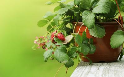 fraisiers entretien origine culture gamm vert. Black Bedroom Furniture Sets. Home Design Ideas