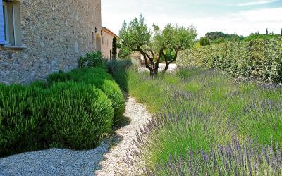 Olivier - Plante d\'extérieur | Gamm vert