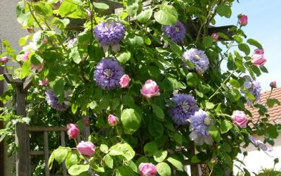 Clematis 'Blue Light' dans un rosier grimpant