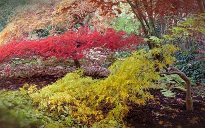 Erable du japon entretien origine culture gamm vert - Erable du japon vert ...