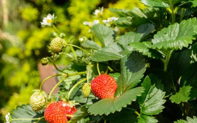 Conseils trucs et astuces le magazine gamm vert - Quel fraisier choisir ...