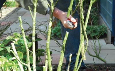 Taille des hibiscus   Gamm vert