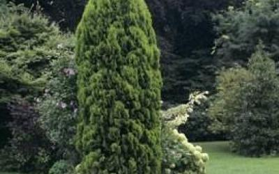 Thuja occidentalis 'Emeraude'