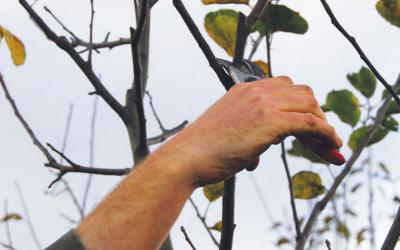 Vos conseils jardinage le magazine gamm vert - Taille des arbres fruitiers a noyaux ...