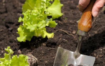 Salades et laitues entretien origine culture gamm vert - Repiquer de la mache ...