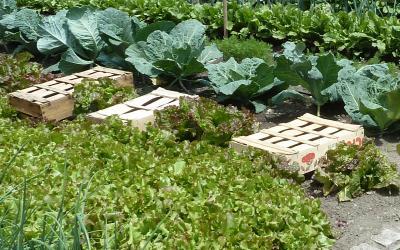 Salades et laitues entretien origine culture gamm vert for Entretien salade jardin