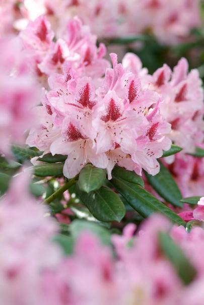 ce nest que justice car ce sont rellement de superbes arbustes voici comment les cultiver et les mettre en valeur dans votre jardin - Planter Un Rhododendron Dans Votre Jardin