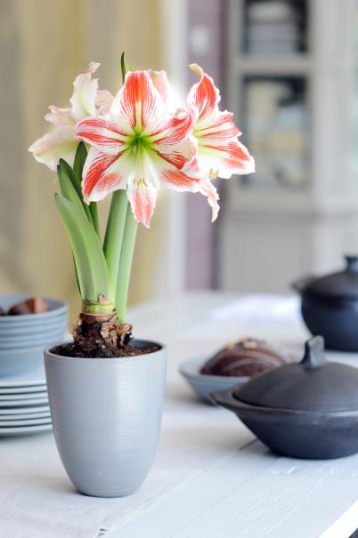 Planter l 39 amaryllis en pot gamm vert for Amaryllis en pot interieur