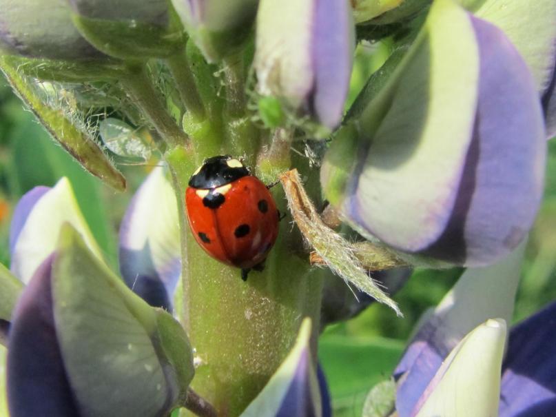 Tout savoir sur les coccinelles gamm vert for Hotel a insecte coccinelle