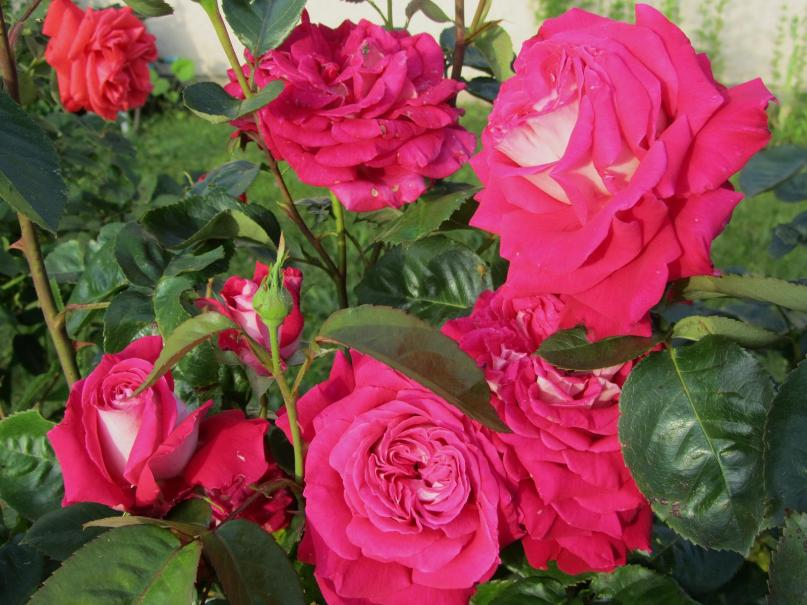 3 astuces pour des rosiers jamais malades le magazine gamm vert. Black Bedroom Furniture Sets. Home Design Ideas