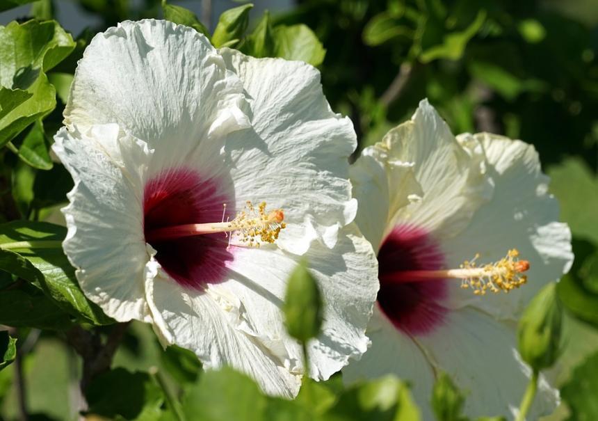 Bien arroser l\'hibiscus | Gamm vert
