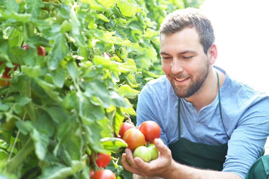 récolter vos tomates