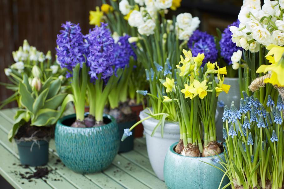 planter les bulbes de printemps crocus perce neige. Black Bedroom Furniture Sets. Home Design Ideas