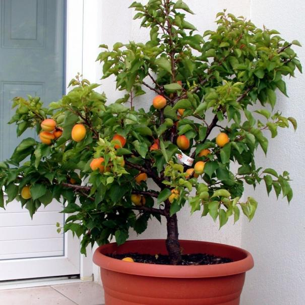 planter un fruitier en pot