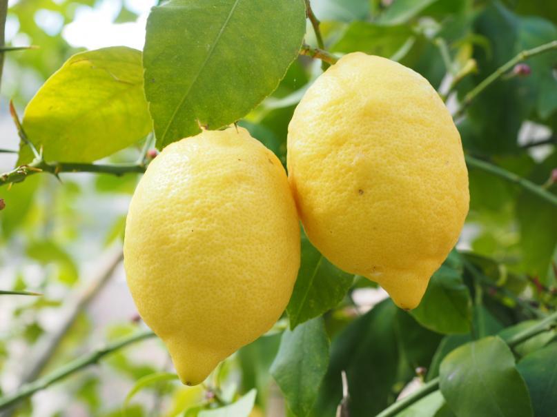 Citronnier plante d 39 ext rieur gamm vert - Citronnier feuilles jaunes ...