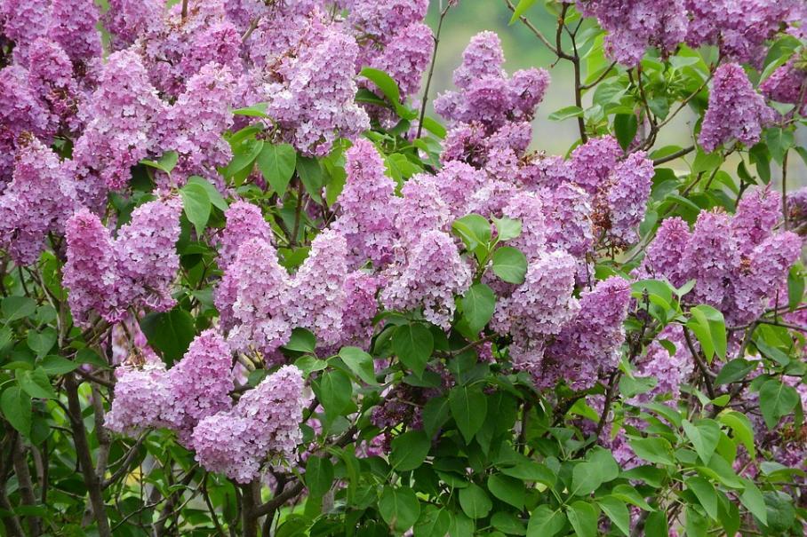 planter le lilas | le magazine — gamm vert