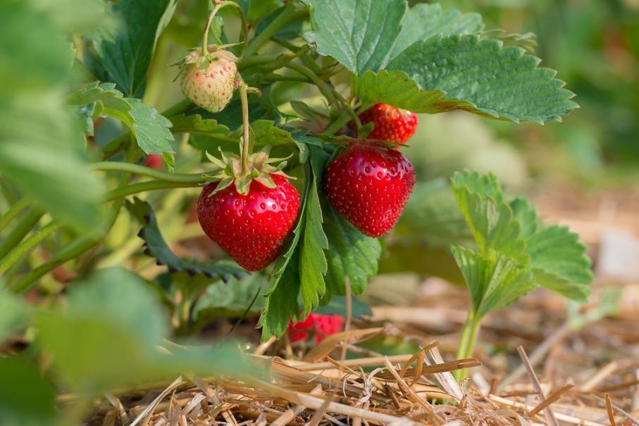 Planter les fraisiers gamm vert - Quand planter des fraisiers ...
