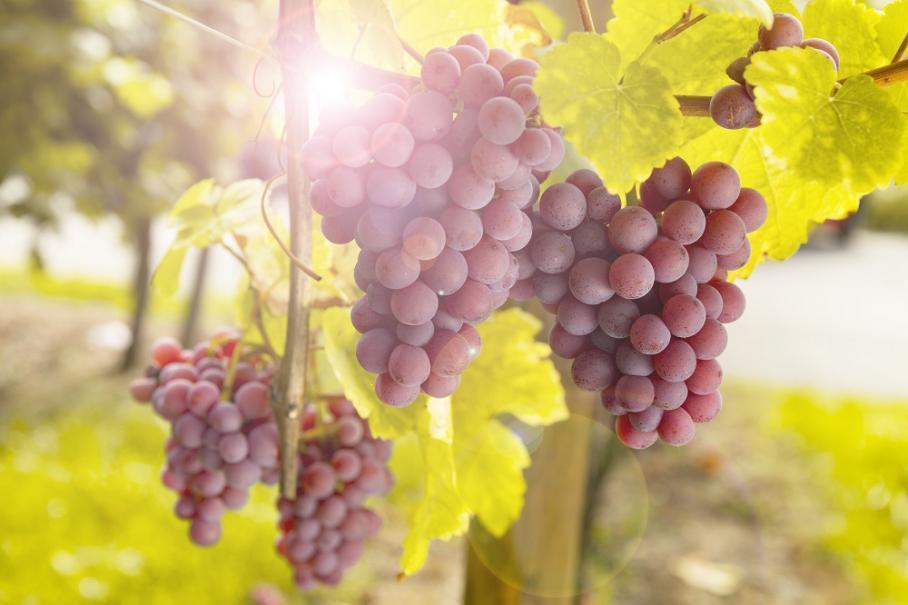 Planter la vigne gamm vert - Planter un pied de vigne ...
