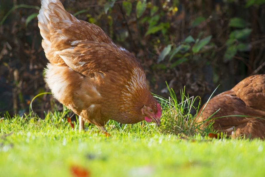 bien nourrir ses poules gamm vert